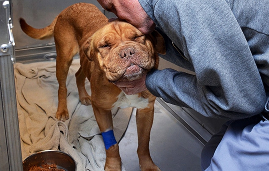 In this March 15, 2016 photo provided by the Santa Fe Animal Shelter, Dr. Rick Snook, a veterinarian with the Santa Fe Animal Shelter & Humane Society, gives Honey, a Dogue de Bordeaux, a hug after examining her at the shelter's Thaw Animal Hospital. The dog swallowed a 6-inch stuffed toy that was lodged in her intestine and was successfully removed following surgery on Monday.(Ben Swan/The Santa Fe Animal Shelter via AP))