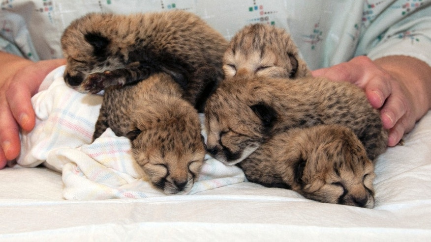 Five cheetah cubs born March 8 after a rare C-section procedure.
