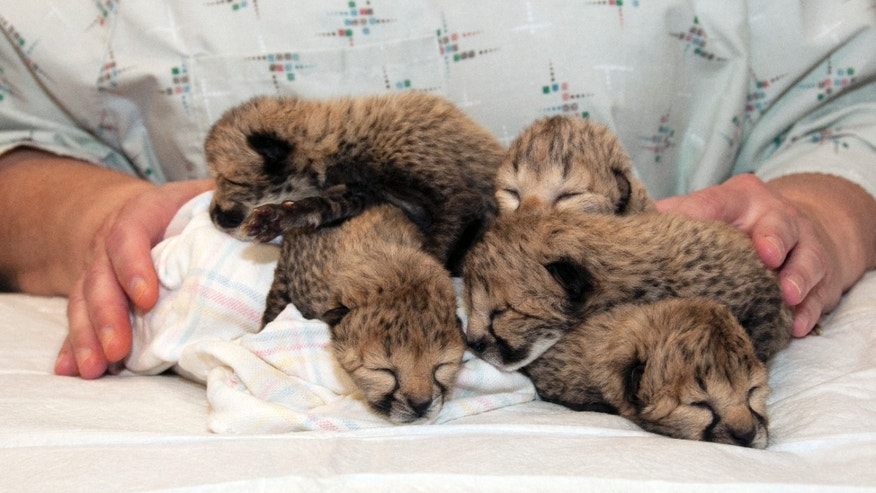 This undated photo provided by the Cincinnati Zoo shows five cheetah cubs born on March 8, 2016, after a rare C-section procedure at the zoo in Cincinnati. The cubs are undergoing around-the-clock critical care in the zoo's nursery. (S. David Jenike/Cincinnati Zoo via AP) MANDATORY CREDIT