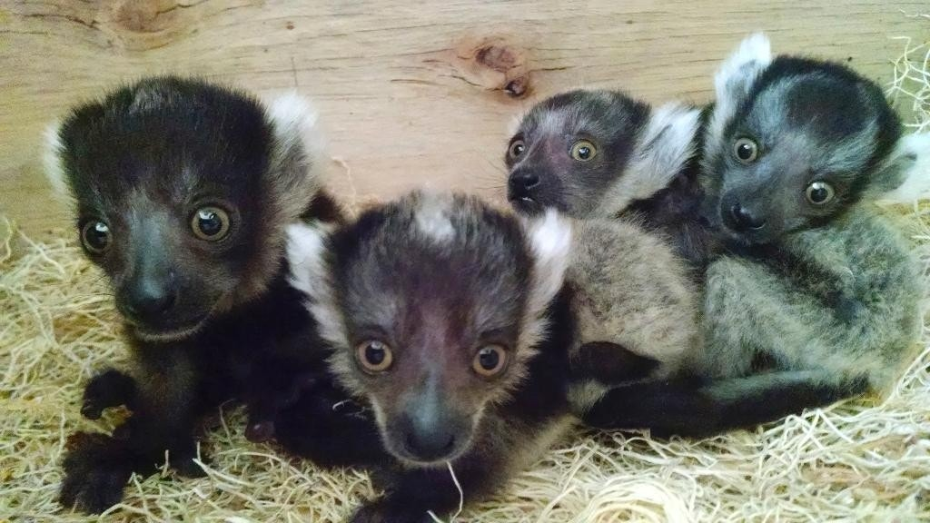4 lemur babies, first-time mom, doing well at zoo