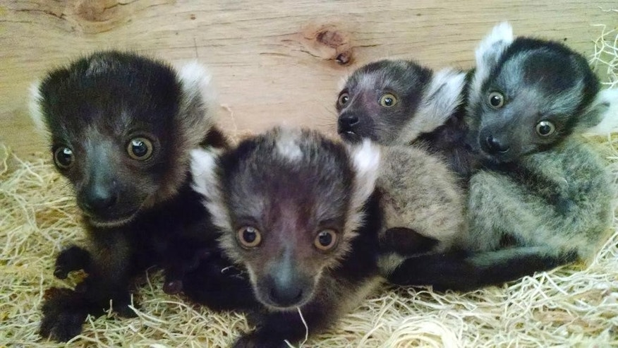 In this photo released Thursday, March 24, 2016, by the Philadelphia Zoo, baby lemurs huddle together at the zoo in Philadelphia. The babies were born in February to 9-year-old Kiaka and 10-year-old Huey, weighing in at a combined one-third of a pound. The lemurs are critically endangered in their native home of Madagascar, but the species has thrived in captivity. A public debut at the zoo is planned in the coming weeks. (Philadelphia Zoo via AP)