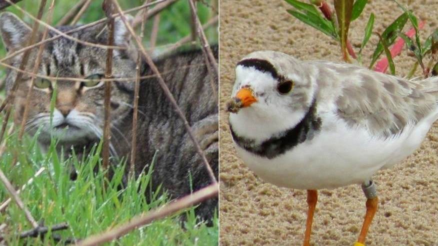 A battle is brewing on Long Island between feral cats and an endangered bird species.
