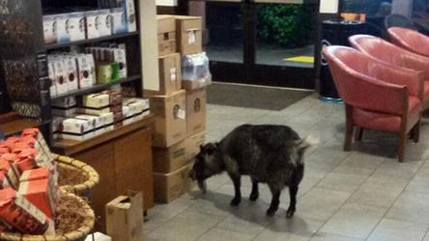 This photo provided by the Rohnert Park, Calif., Department of Public Safety shows a goat that wandered into a Starbucks in the Northern California town Sunday, April 10, 2016