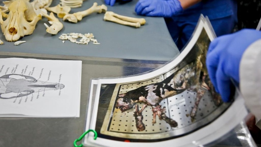 Veterinarians at the American Society for the Prevention of Cruelty to Animals (ASPCA ) forensic unit show evidence and the skeletal remains of a dog used for dog fighting, Thursday April 7, 2016, in New York. The ASPCA forensic veterinarians work with the New York Police Department to capture evidence and punish animal abusers. (AP Photo/Bebeto Matthews)