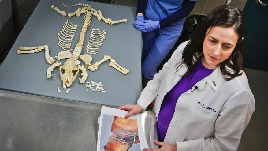 Dr. Laura Niestat, one of three veterinarians with the American Society for the Prevention of Cruelty to Animals (ASPCA ) forensic unit, holds photo evidence of a dog missing layers of skin from a tight collar, Thursday April 7, 2016, in New York. The New York based ASPCA unit works with the New York Police Department to capture evidence and punish animal abusers. (AP Photo/Bebeto Matthews)