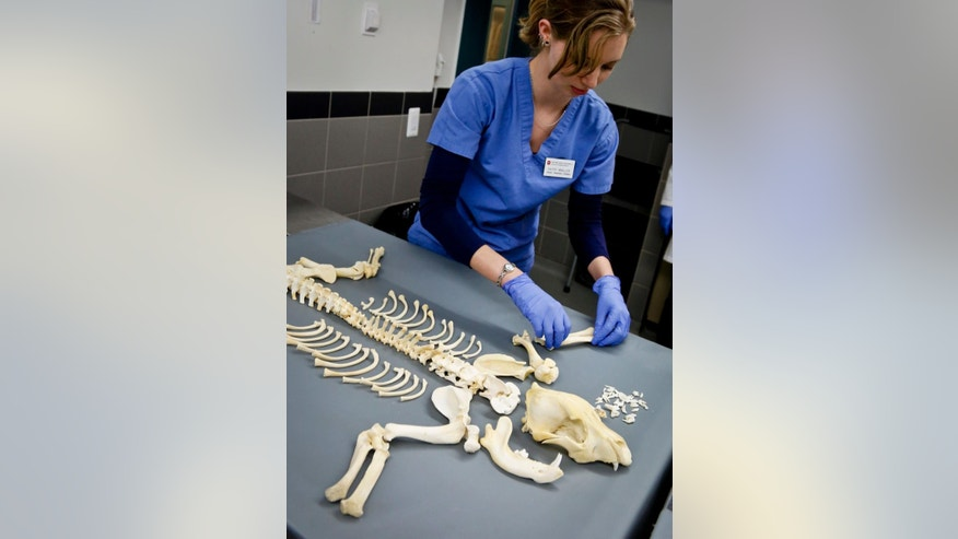 Victry Mueller, a senior veterinary student intern from Ohio State University with the American Society for the Prevention of Cruelty to Animals (ASPCA ) forensic unit, lays out the remains of a dog used for dog fighting on Thursday April 7, 2016, in New York. The New York based ASPCA unit working with the New York Police Department to capture evidence and punish animal abusers. (AP Photo/Bebeto Matthews)