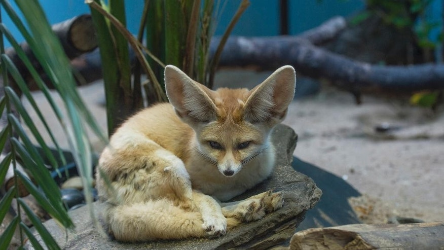 This April 13, 2016, photo provided by the Wildlife Conservation Society shows one of two new fennec foxes making their debut at the Prospect Park Zoo in the Brooklyn borough of New York. The Wildlife Conservation Society says little foxes, usually weighing less than 4 pounds as adults, with remarkably big ears, are native to the deserts of northern Africa. (Wildlife Conservation Society/Julie Larsen Maher via AP)