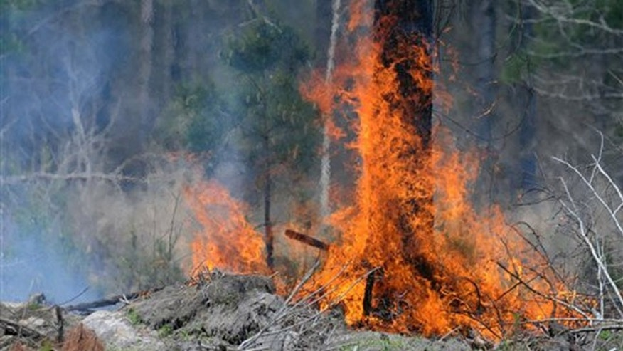 A tree goes up in flames on Wednesday during a 1,500-acre woods fire south of Bolivia. Officials say the fire in Brunswick County has burned about 1,600 acres. Firefighters said Wednesday afternoon the blaze was about 70 percent controlled. Wildfires continue to burn at each end of North Carolina.  (Matt Born/StarNews via AP)