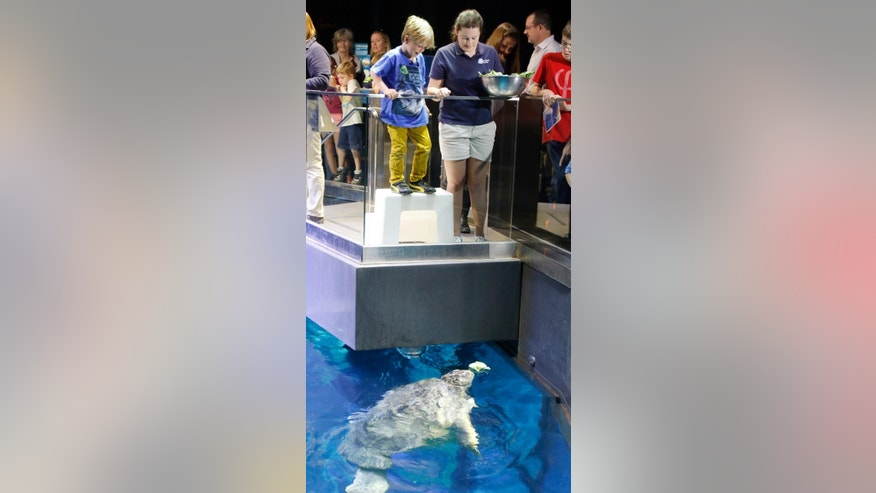 Jasper Rose, left, of Watertown, Mass., with the help from New England Aquarium intern Flora Gibbs, right, feeds Myrtle, a green sea turtle swimming in the main tank at the aquarium Friday, April 22, 2016, in Boston. The 6-year-old's love of sea turtles prompted him to skip his birthday gifts and instead asked for money to donate for sea turtle rescue efforts. He has so far raised $550. (AP Photo/Bill Sikes)