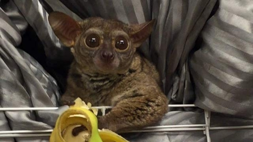 Gooey, a Galago primate, was recovered from a prostitute.