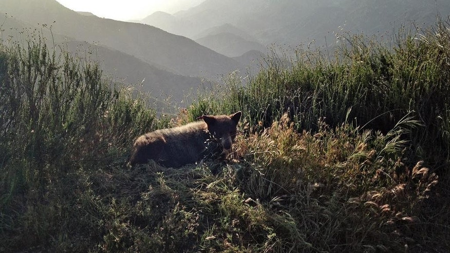 This Sunday, April 24, 2016 photo provided by the California Department of Fish and Wildlife shows a 2 year-old female bear cub after she was released to an unidentified location in Los Angeles County. Officials captured the bear cub on Sunday, April 24, after it was found in a suburban Los Angeles County foothill community of Duarte. (California Department of Fish and Wildlife via AP)