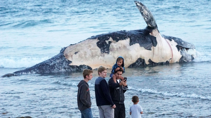 In this photo taken, Sunday, April 24, 2016, Kirk Lindahl, of San Clemente, snaps a selfie with a dead whale that washed up along the shore at Lower Trestles, a popular surf spot, a mile south of San Clemente, Calif.