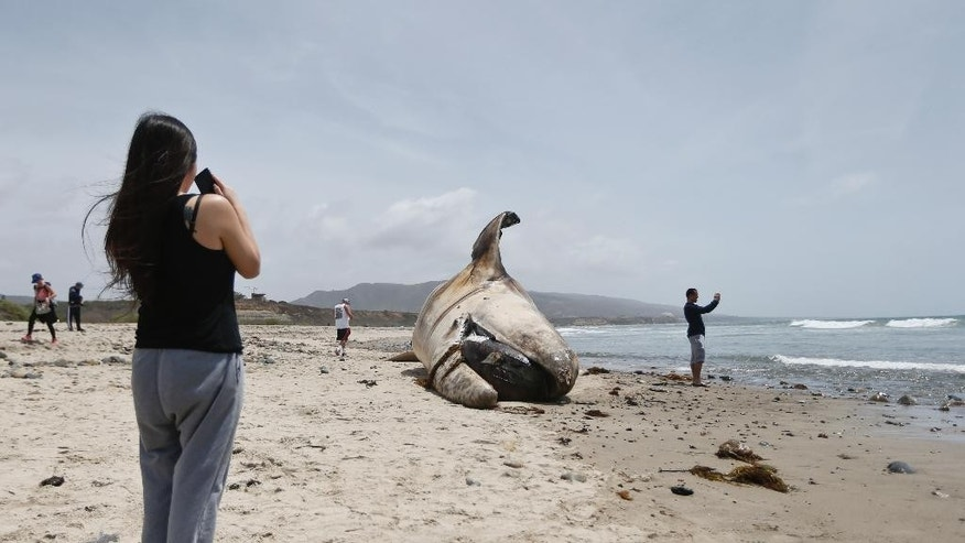 A woman takes a photo while another sight seer takes a selfie in front of the massive carcass of a whale at a popular California surfing spot Tuesday, April 26, 2016, in San Clemente, Calif. Authorities are trying to decide what to do with the massive, rotting carcass. (AP Photo/Lenny Ignelzi)