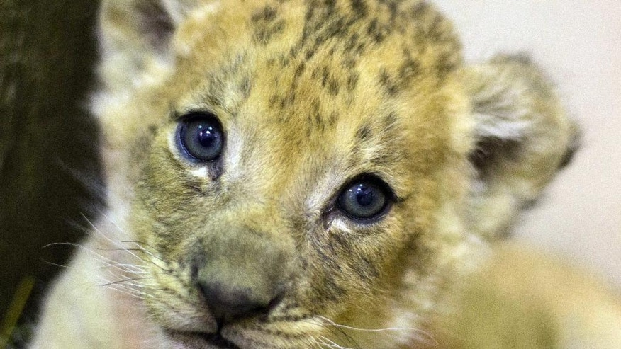 In this undated photo provided by the Buffalo Zoo, a nearly eight-week-old lion cub born at the zoo looks into the camera, in Buffalo, N.Y. The cub is the first cub to be born at the zoo in 25 years. (The Buffalo Zoo via AP)