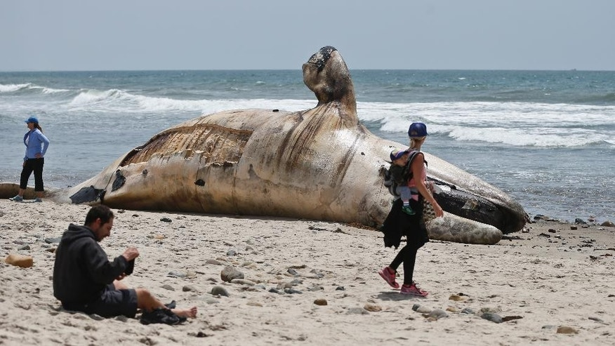 FILE - In this Tuesday, April 26, 2016 file photo, a woman carrying an infant on her back looks at a massive carcass of a whale at a popular California surfing spot in San Clemente, Calif. Authorities say the rotting carcass of a 30-ton gray whale that washed up on a California beach will be cut up and trucked to a landfill. California parks officials made the decision Wednesday, April 27, 2016, after deciding it would be impractical to tow the 40-foot whale out to sea or bury it at San Onofre State Beach in San Diego County.  (AP Photo/Lenny Ignelzi, File)