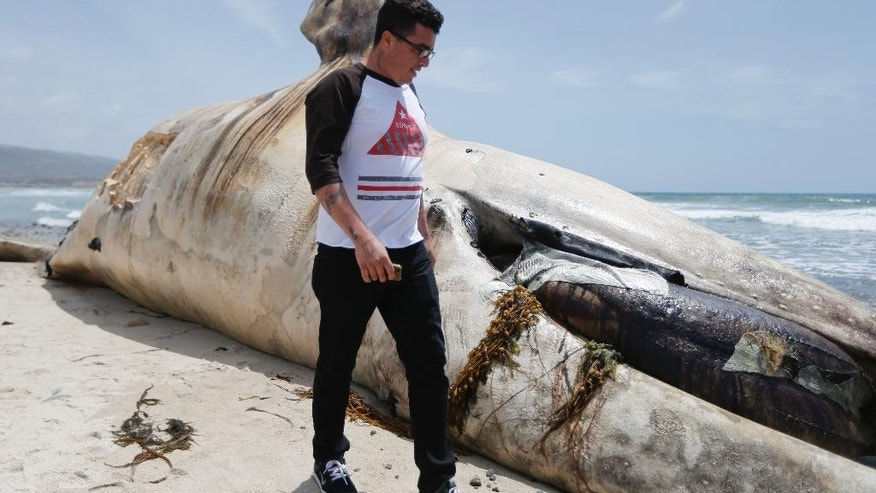 Heraclio Belmontes looks down at the mouth of a massive carcass of a whale at a popular California surfing spot Tuesday, April 26, 2016, in San Clemente, Calif. Authorities are trying to decide what to do with the massive, rotting carcass. (AP photos/Lenny Ignelzi)
