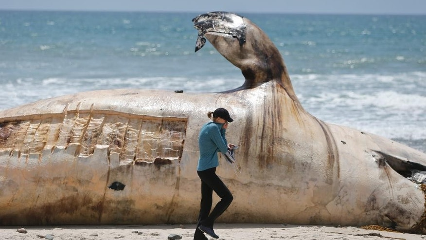 A woman covers her face while walking past a massive carcass of a whale decomposing at a popular California surfing spot Tuesday, April 26, 2016, in San Clemente, Calif. Authorities are trying to decide what to do with the massive, rotting carcass. (AP Photo/Lenny Ignelzi)