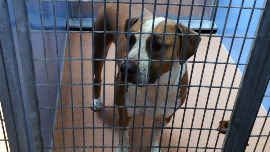 FILE - This undated file photo provided by the San Diego County Department of Animal Services shows a male American Staffordshire terrier-mix named Polo, in their custody after it mauled to death a 3-day-old boy, in San Diego.
