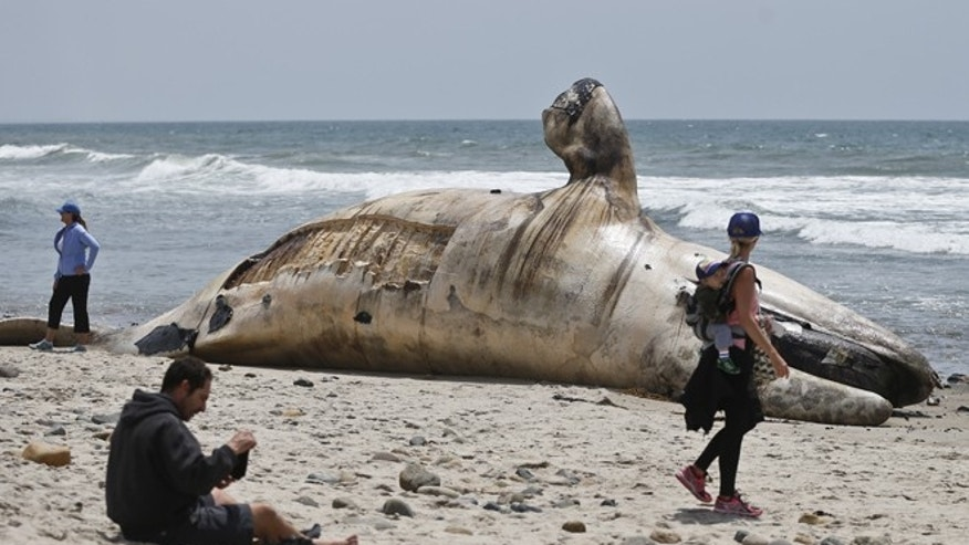 The massive carcass of a whale decomposes at a popular California surfing spot