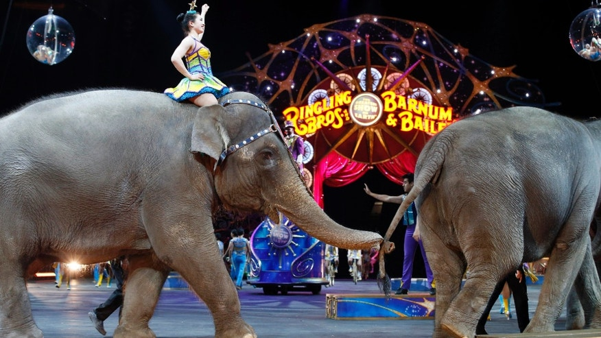 Elephants walk during a 2015 performance of the Ringling Bros. and Barnum & Bailey Circus.