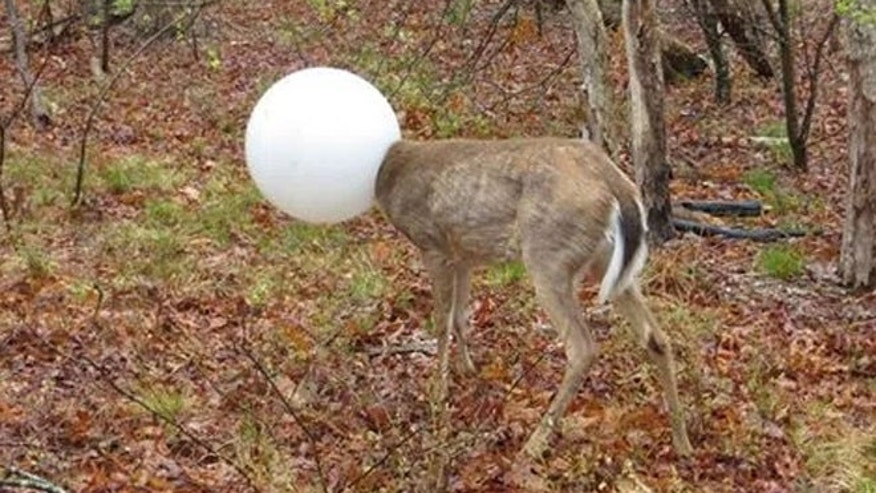 A deer on New York's Long Island was freed after getting stuck somehow in a light globe.