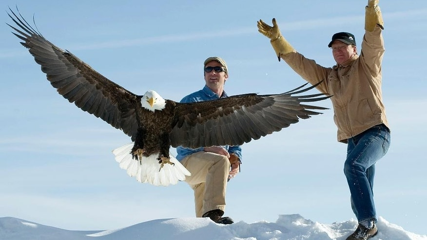 In this March 25, 2013, file photo, Len Carlman, right, releases an adult male bald eagle with Teton Raptor Center program director Jason Jones in Wilson, Wyo. The U.S. Fish and Wildlife Service is dropping its appeal of a judge's decision to allow members of an American Indian tribe to kill bald eagles for religious purposes on its reservation in central Wyoming. The federal agency on Friday, May 13, 2016, filed notice with a federal appeals court in Denver that it won't continue its appeal of last year's decision by U.S. District Judge Alan B. Johnson of Cheyenne. (Price Chambers/Jackson Hole News & Guide,  via AP, File)