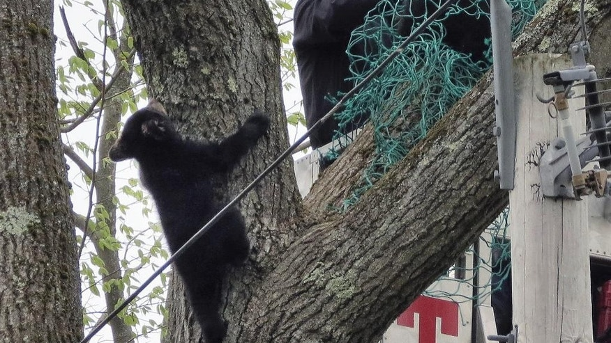 The bear cubs rescued on Monday.
