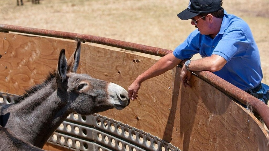 Aug. 27, 2011: A donkey smells the hand of Keith Dane, senior advisor for Equine Protection for the Humane Society of the United States in Waikoloa, Hawaii.