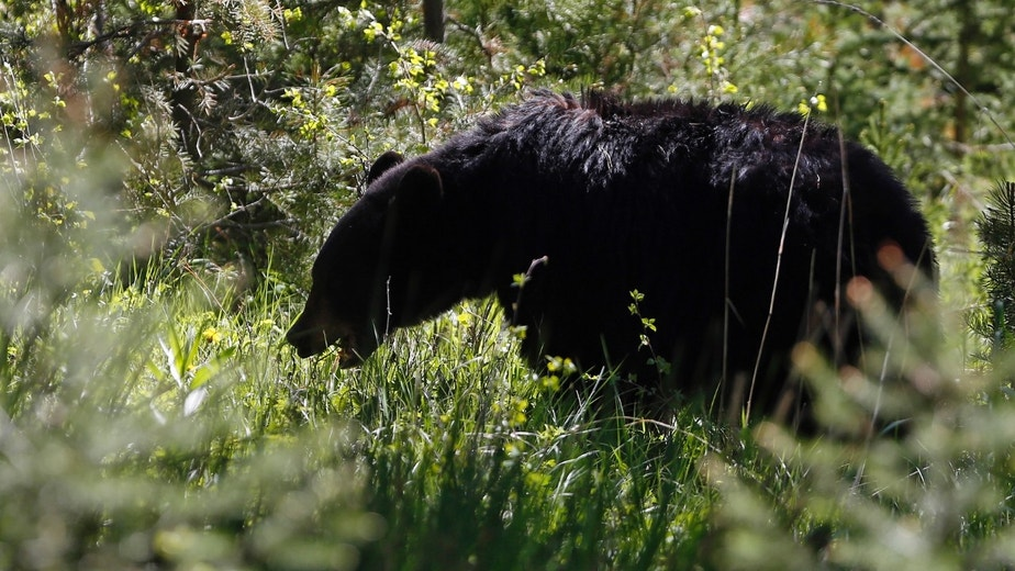 A black bear grazes on grasses in Yellowstone National Park, Wyoming, June 18, 2013. Yellowstone National Park is the world's first national park founded in 1872 and sits atop the largest super volcano in North America, the Yellowstone Caldera.  REUTERS/Jim Urquhart  (UNITED STATES - Tags: ENVIRONMENT)
