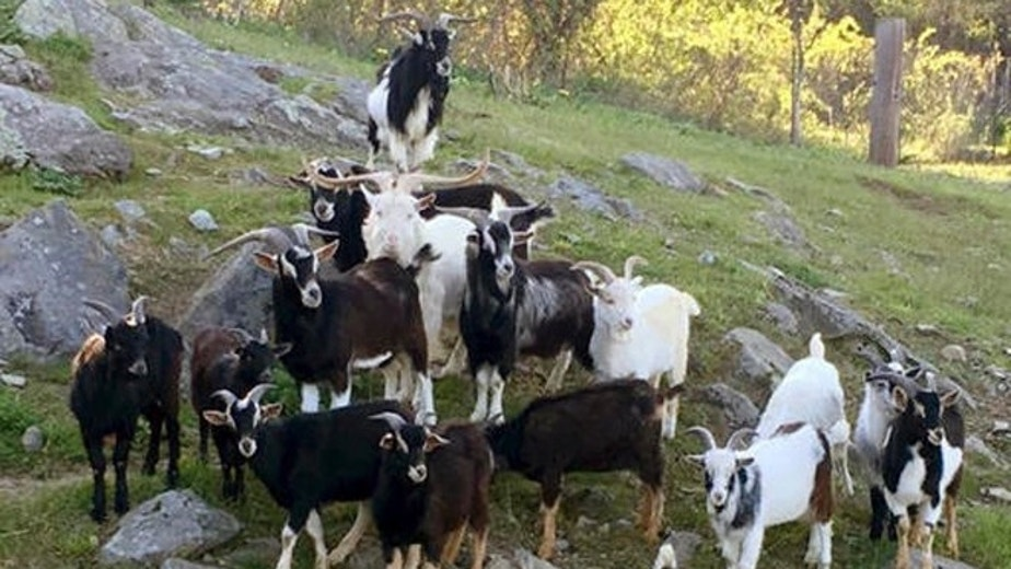 This May 2016 photo provided by the MSPCA-Nevins Farm in Methuen, Mass., shows some of nearly 50 goats voluntarily turned over by an owner in Montague, Mass., who couldn't handle the growing herd. The rescue farm is overloaded with goats and asking people to step forward and give them new homes. (Julia Pesek/MSPCA-Nevins Farm via AP)