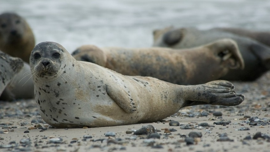 A rebounding seal population has brought sharks to the shores of New England, say experts.