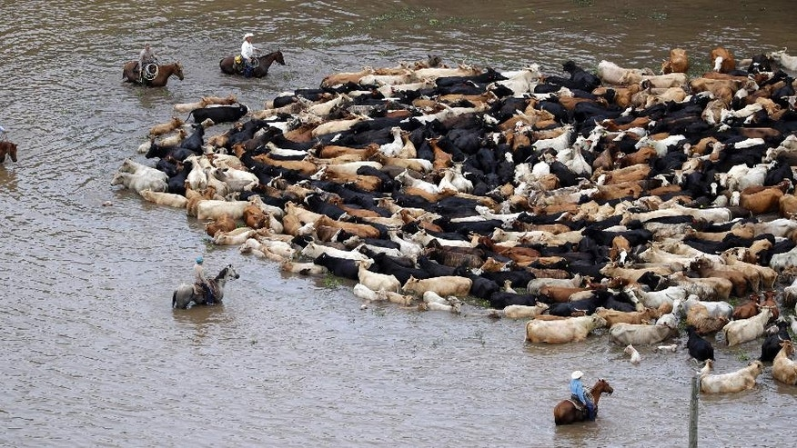 Cattle are herded through floodwaters toward higher ground, Saturday, June 4, 2016, near Chenango, Texas. Parts of Texas have been inundated with rain in the last week, and more than half of the state has been under flood watches or warnings. (AP Photo/David J. Phillip)