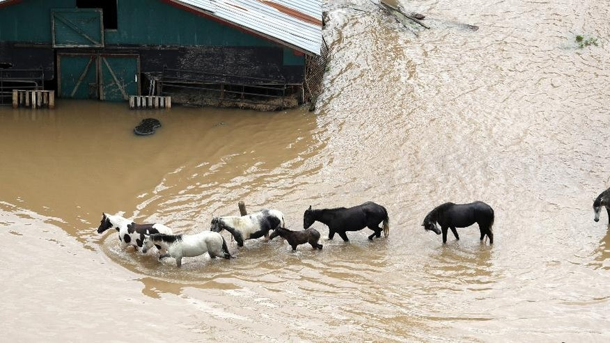 Horses walk through floodwaters, Saturday, June 4, 2016, in Rosharon, Texas. Parts of Texas have been inundated with rain in the last week, and more than half of the state has been under flood watches or warnings. (AP Photo/David J. Phillip)