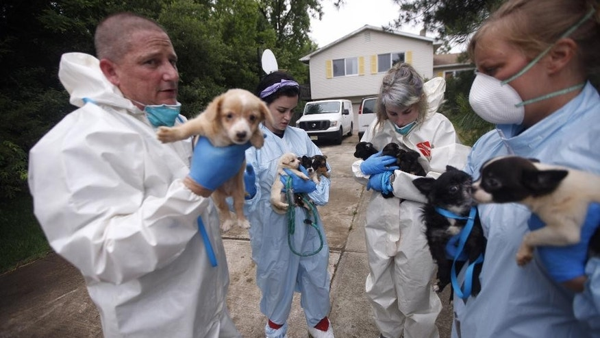 In this Friday, June 3, 2016, photo, workers treat several of hundreds of dogs rescued from a bi-level home in Howell, N.J. The executive director and police chief for the Monmouth County Society for the Prevention of Cruelty to Animals, Ross Licitra, plans to meet with the Monmouth County prosecutor's office to discuss the matter. (Andrew Ford/Asbury Park Press via AP) NO SALES; MANDATORY CREDIT