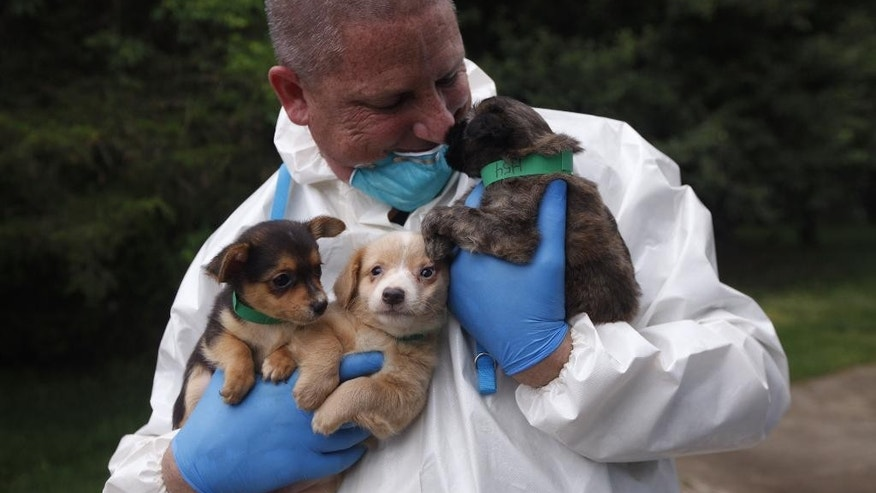 In this Friday, June 3, 2016, photo, a worker carries puppies that were among hundreds of dogs rescued from a bi-level home in Howell, N.J. The executive director and police chief for the Monmouth County Society for the Prevention of Cruelty to Animals, Ross Licitra, plans to meet with the Monmouth County prosecutor's office to discuss the matter. (Andrew Ford/The Asbury Park Press via AP) NO SALES; MANDATORY CREDIT