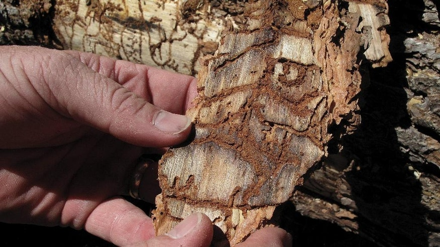 In this June 6, 2016 photo, Division Chief Jim McDougald of the California Department of Forestry and Fire Protection holds a piece of tree bark showing burrowing marks from a bark beetle infestation near Cressman, Calif. California's drought and the bark beetle epidemic have caused the largest die-off of Sierra Nevada forests in modern history, raising fears that trees could come crashing down on people or fuel catastrophic wildfires, devastating mountain communities and choking the sky with smoke. (AP Photo/Scott Smith)