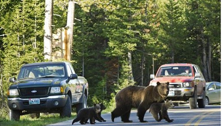 This June 2011 file photo shows Grizzly bear No. 399 crossing a road in Grand Teton National Park, Wyo., with her three cubs.