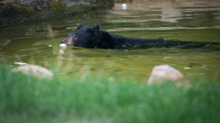 This June 2016 photo provided by the Columbus Zoo shows a black bear cub named Joan in the Columbus Zoo in Columbus, Ohio.  Zoo officials in Ohio say a black bear cub briefly escaped its enclosure before being corralled and sedated. A spokeswoman says the Columbus Zoo was put on lockdown Saturday,  for a few minutes until workers could contain the bear. (Columbus Zoo via AP)