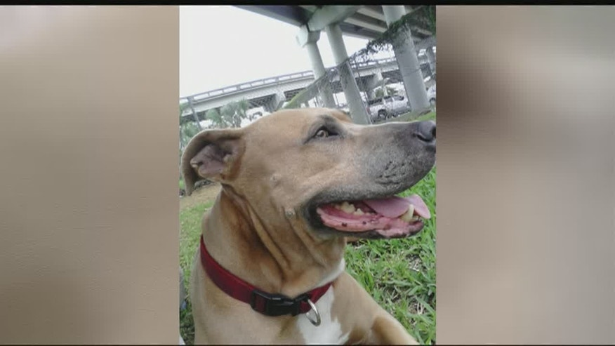 Precious, the pit bull killed by an alligator at a Florida marina.