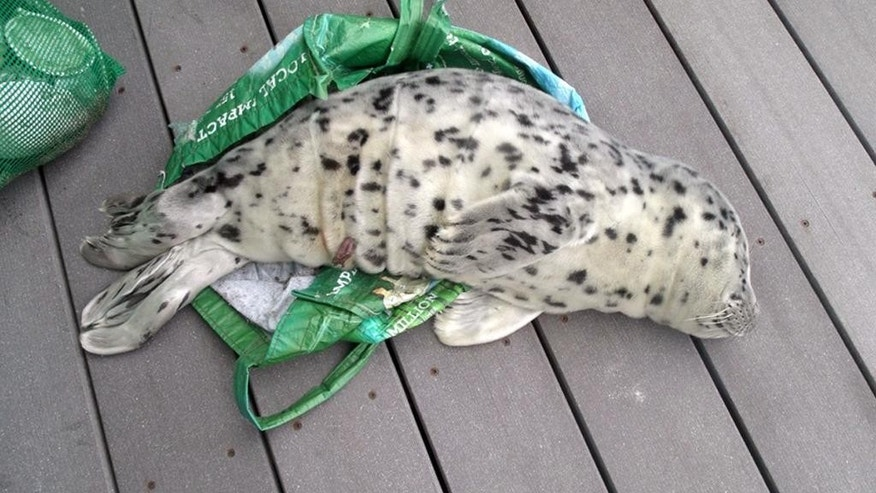 In this May 21, 2016, photo provided by the Westport Aquarium, a baby seal is seen laying across a shopping tote used to carry it off a beach in Westport, Wash.