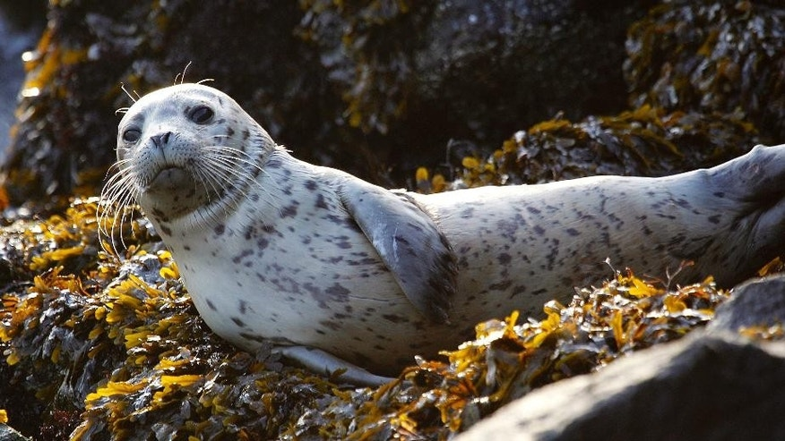 In this Oct. 12, 2011, file photo, a harbor seal pup rests on seaweed-covered rocks after coming in on the high tide in the West Seattle neighborhood of Seattle.