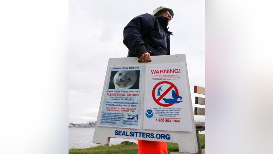 "In this Oct. 11, 2011, file photo, Ralph Heitt picks up a ""Seal Sitters"" sign after the harbor seal pup he and other volunteers had been watching during his rest period returned to the water in Seattle."