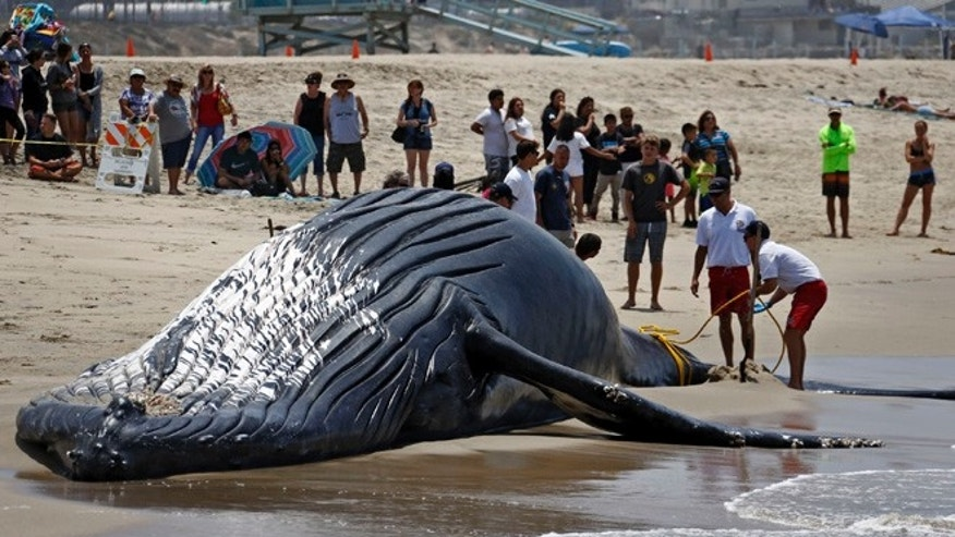 JULY 1: Lifeguards tie a dead humpback whale's tail after it washed ashore at Dockweiler Beach along the Los Angeles coastline.