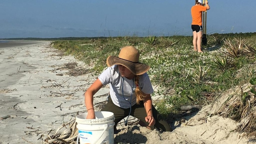 In this 2016 photo, made available by the Georgia Department of Natural Resources, Avery Young, left, and Melissa Fry, relocate a sea turtle nest to a more protected site on Cumberland Island, Ga. Rare loggerhead sea turtles have reached a conservation milestone on the coast of Georgia. The Georgia Department of Natural Resources says more than 2,890 loggerhead sea turtle nests have been counted this summer on beaches along the state's 100-mile coast. (Georgia Department of Natural Resources via AP)