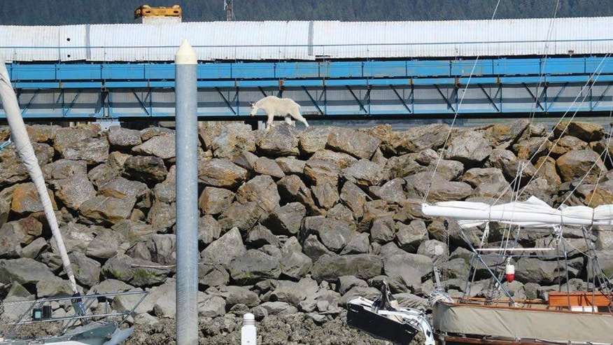 In this Saturday, July 16, 2016, photo provided by Patrice Fero, a goat wanders in Seward, Alaska.