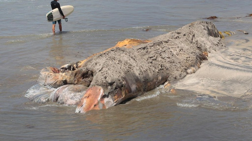 FILE - In this July 17, 2016, file photo, a surfer walks past the dead whale that washed up on Encinitas beach in San Diego, Calif. The rotting carcass of a 45-foot-long female named Wally was cut up on an Encinitas beach on July 18 and trucked to a San Diego landfill, The Los Angeles Times reports. (Nelvin C. Cepeda/The San Diego Union-Tribune via AP, File)