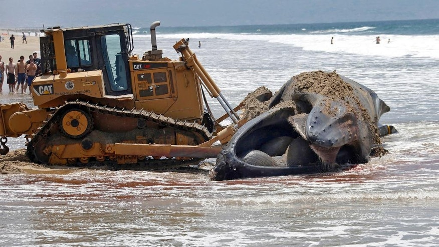 FILE - In this July 1, 2016, file photo, a bulldozer pushes a dead humpback whale that washed ashore at Dockweiler Beach back into the ocean along the Los Angeles coastline. The dead whale kept floating up near Southern California beaches has finally been laid to rest. The rotting carcass of a 45-foot-long female named Wally was cut up on an Encinitas beach Monday, July 18, 2016, and trucked to a San Diego landfill, The Los Angeles Times reports. (AP Photo/Nick Ut, File)