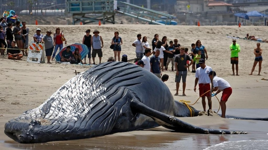 FILE - In this July 1, 2016, file photo, lifeguards tie a dead humpback whale's tail after it was washed ashore at Dockweiler Beach along the Los Angeles coastline. The dead whale kept floating up near Southern California beaches has finally been laid to rest. The rotting carcass of a 45-foot-long female named Wally was cut up on an Encinitas beach Monday, July 18, 2016, and trucked to a San Diego landfill, The Los Angeles Times reports. (AP Photo/Nick Ut, File)