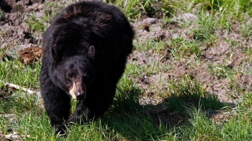 A black bear roams near the Lamar Valley in Yellowstone National Park