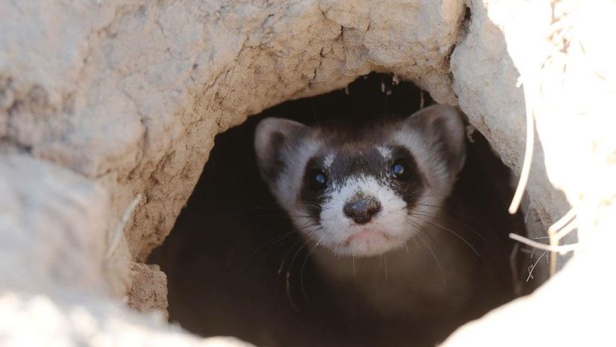 FILE - In this Oct. 5, 2015, file photo, a black-footed ferret looks out of the entrance to a prairie dog tunnel after being let loose during a release of 30 of the animals by the U.S. Fish and Wildlife Service at the Rocky Mountain Arsenal National Wildlife Refuge in Commerce City, Colo. The endangered weasel is returning to an area of western Wyoming where the critter almost went extinct more than 30 years ago. Biologists plan to release 35 black-footed ferrets Tuesday, July 26, 2016, near Meeteetse, Wyo. Scientists thought the black-footed ferret was extinct until a dog brought a dead one home near Meeteetse in 1981. (AP Photo/David Zalubowski, File)